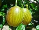 Zlatý fík