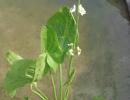 šípatka (Sagittaria latifolia)