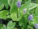 modráska (Pontederia cordata)