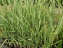 orobinec (Typha latifolia ´Variegata´)