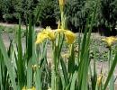 kosatec (Iris pseudoacorus)