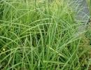 ostřice (Carex pseudocyperus)