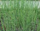 přeslička (Equisetum hyemale)