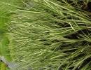 puškvorec (Acorus calamus argenteostriatus)