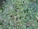 halucha (Oenanthe javanica ´Flamingo´)