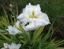 kosatec (Iris pseudoacorus´Creme de la Creme´)