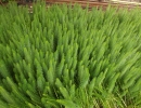 prustka (Hippuris vulgaris)