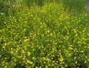 pryskyřník (Ranunculus flamula)