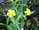 pryskyřník (Ranunculus lingua)