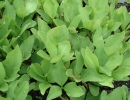 vachta (Menyanthes trifoliata)