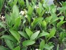 šípatka (Sagittaria graminea)