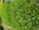konitrud (Gratiola officinalis)