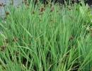 sítina (Juncus ensifolius)