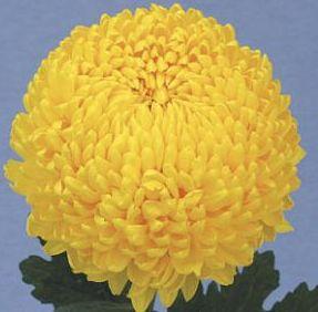 Velkokvětá Cremist žlutý