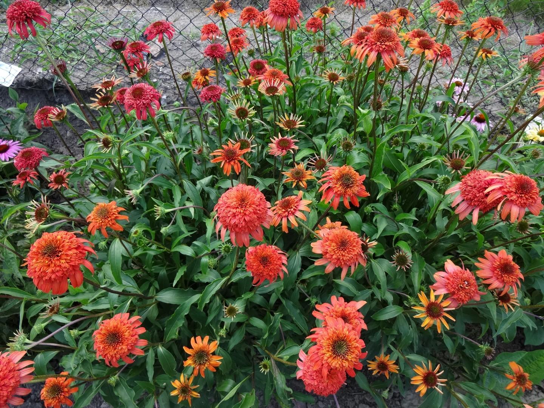 třapatka (Echinacea) ve výsadbě03