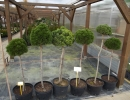 borovice na kmínku