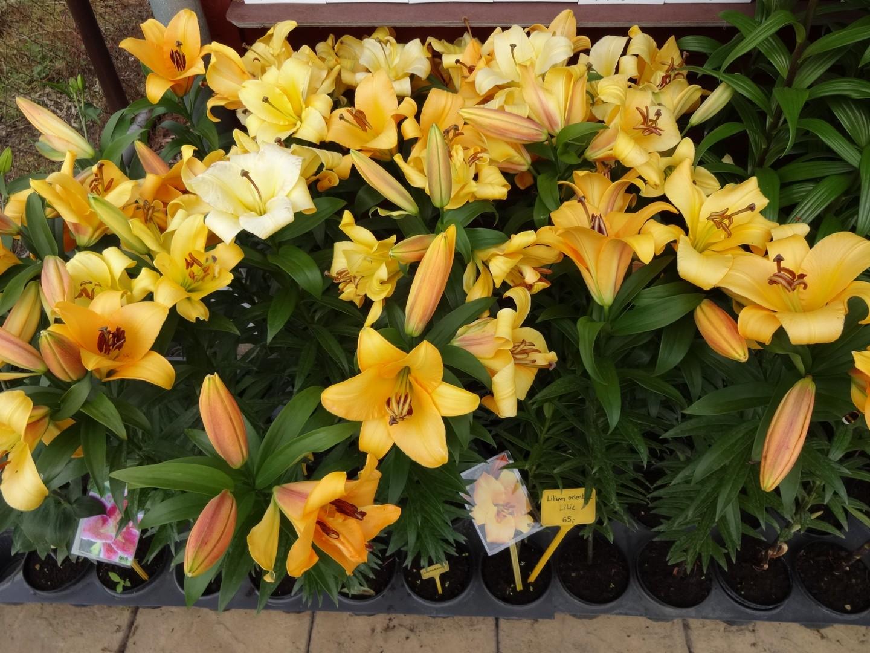 kvetoucí lilie-03