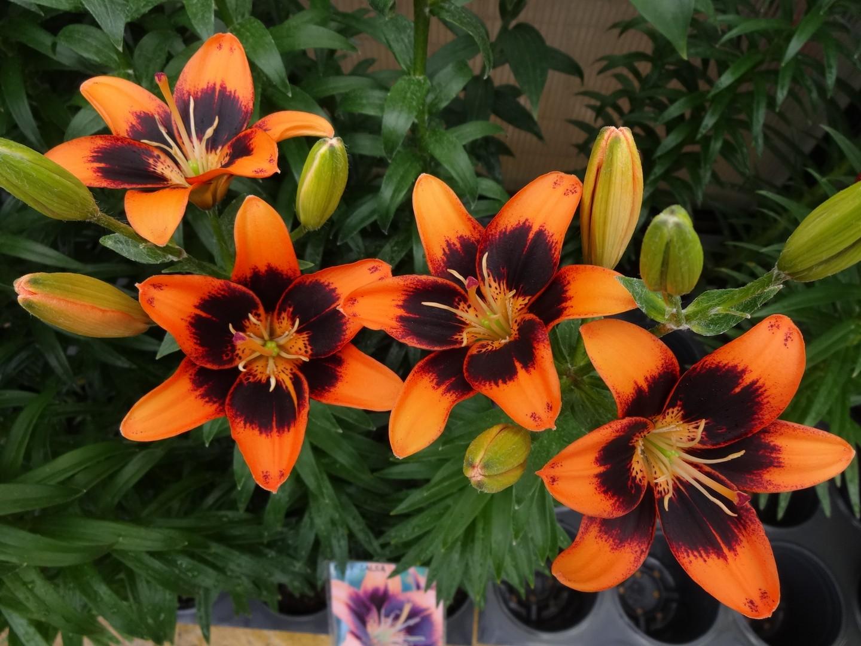 kvetoucí lilie01