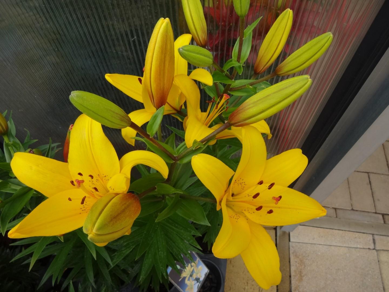 kvetoucí lilie03