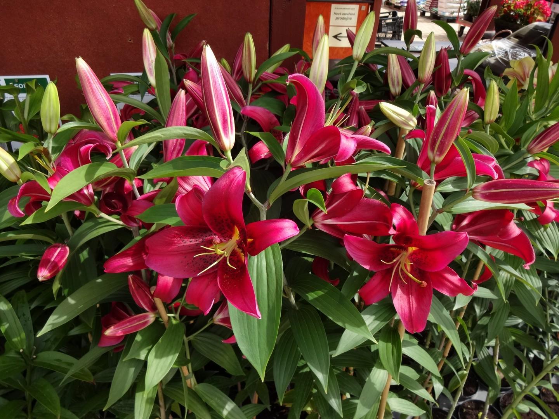 kvetoucí lilie05