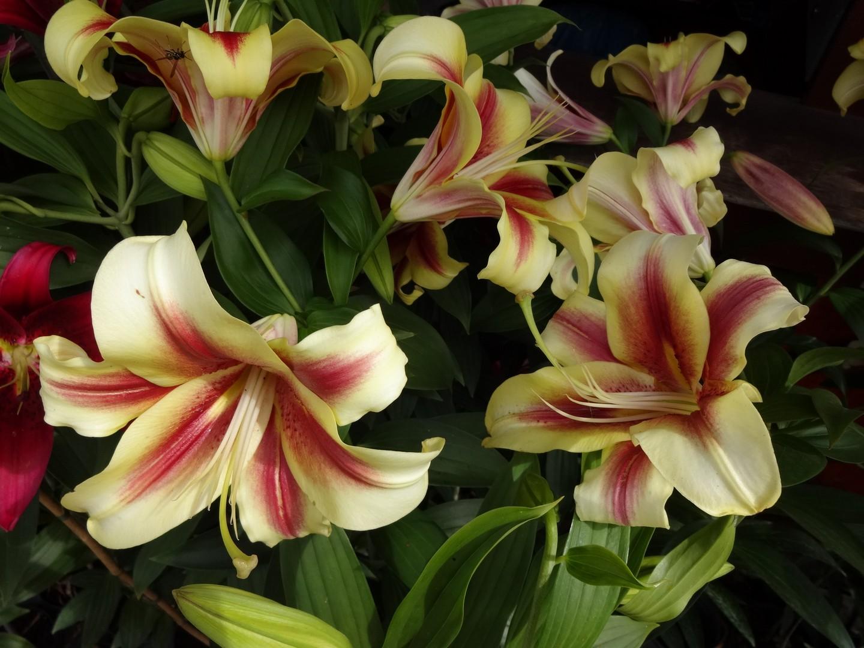 kvetoucí lilie06