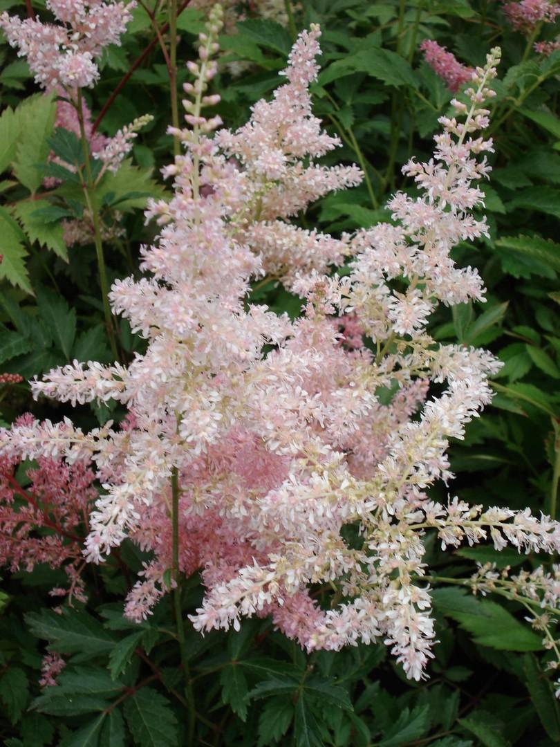 čechrava (Astilbe cvs.)