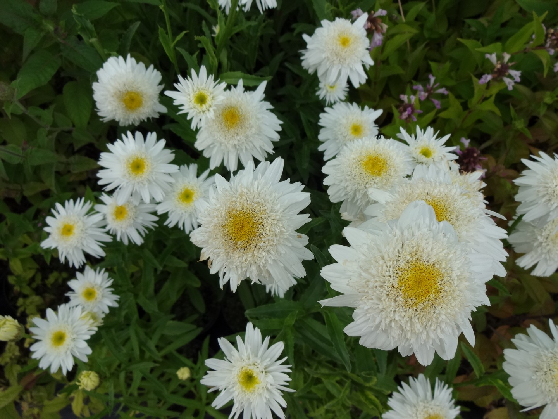 kopretina (Leucanthemum ´Česká Píseň´)