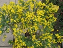 čilimník (Cytisus cv.)