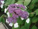 hortenzie (Hydrangea aspera ´Macrophylla´)