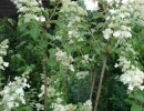 hortenzie (Hydrangea paniculata ´Kyushu´)