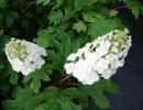 hortenzie (Hydrangea quercifolia ´Snow Queen´)