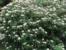kalina (Viburnum rhytidophyllum)