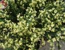 čilimník (Cytisus praecox cv.)