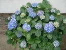 hortenzie (Hydrangea cv.)