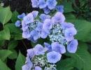 hortenzie (Hydrangea macrophylla)