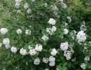 kalina (Viburnum carlesii)
