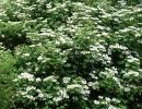 kalina (Viburnum opulus ´Roseum´)