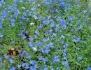 lobelka převislá (Lobelia erinus ´Safír´)