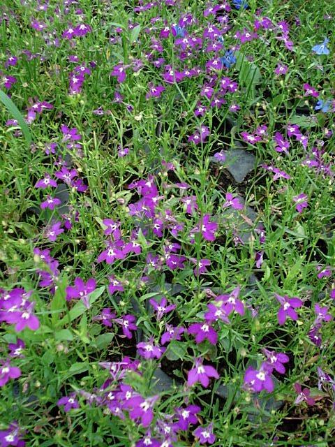 lobelka převislá (Lobelia erinus ´Cascade Red´)