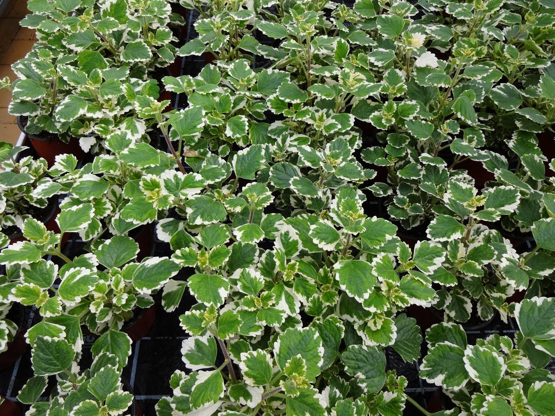 molice (Plectranthus fosteri)