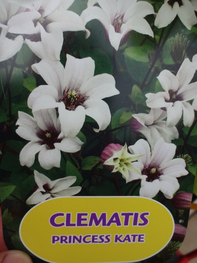 plamének Clematis Princess Kate