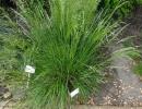metlice (Deschampsia caespitosa)
