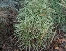 ostřice (Carex ornithopoda ´Variegata´)