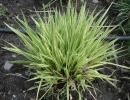 bezkolenec (Molinia caerulea ´Variegata´)