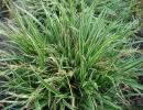 ostřice (Carex morrowii ´Ice Dance´)