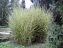 ozdobnice (Miscanthus sinensis ´Zebrinus´)