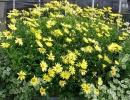 kopretina pařížská (Argyranthemum frutescens)