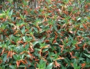 hlazenec (Cuphea ignea ´Medaillon´)