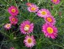 pařížská kopretina (Argyranthemum frutescens)