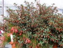 hlazenec (Cuphea ignea)